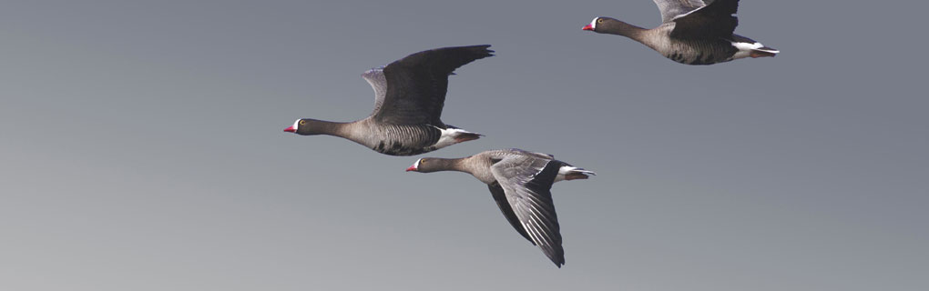 Lesser White-fronted Geese in flight, Estonia (Photo: Seppo Ekelund)